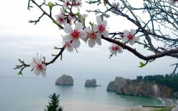 Cherry blossoms at the seaside