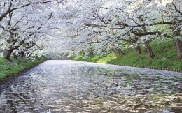 cherry blossoms, white petals on the water
