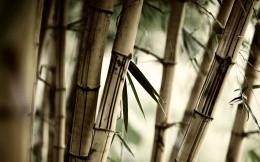 Chinese bamboo forest photo wallpaper