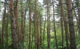 Russian nature, pine forest - wallpaper, nature themes.
