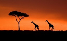 Set in Kenya, giraffe and tree silhouettes