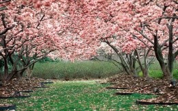 Spring flowering trees in the park wallpaper.