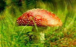 Hallucinogenic fly agaric mushroom in the backgrounds of