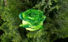 New green rose on the tree :)