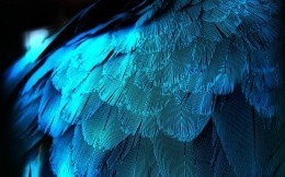 Peacock feathers with blue light, photo wallpapers