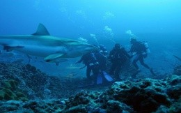 Scuba divers with sharks