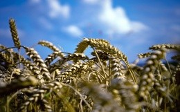 Wheat and blue sky - background for your desktop
