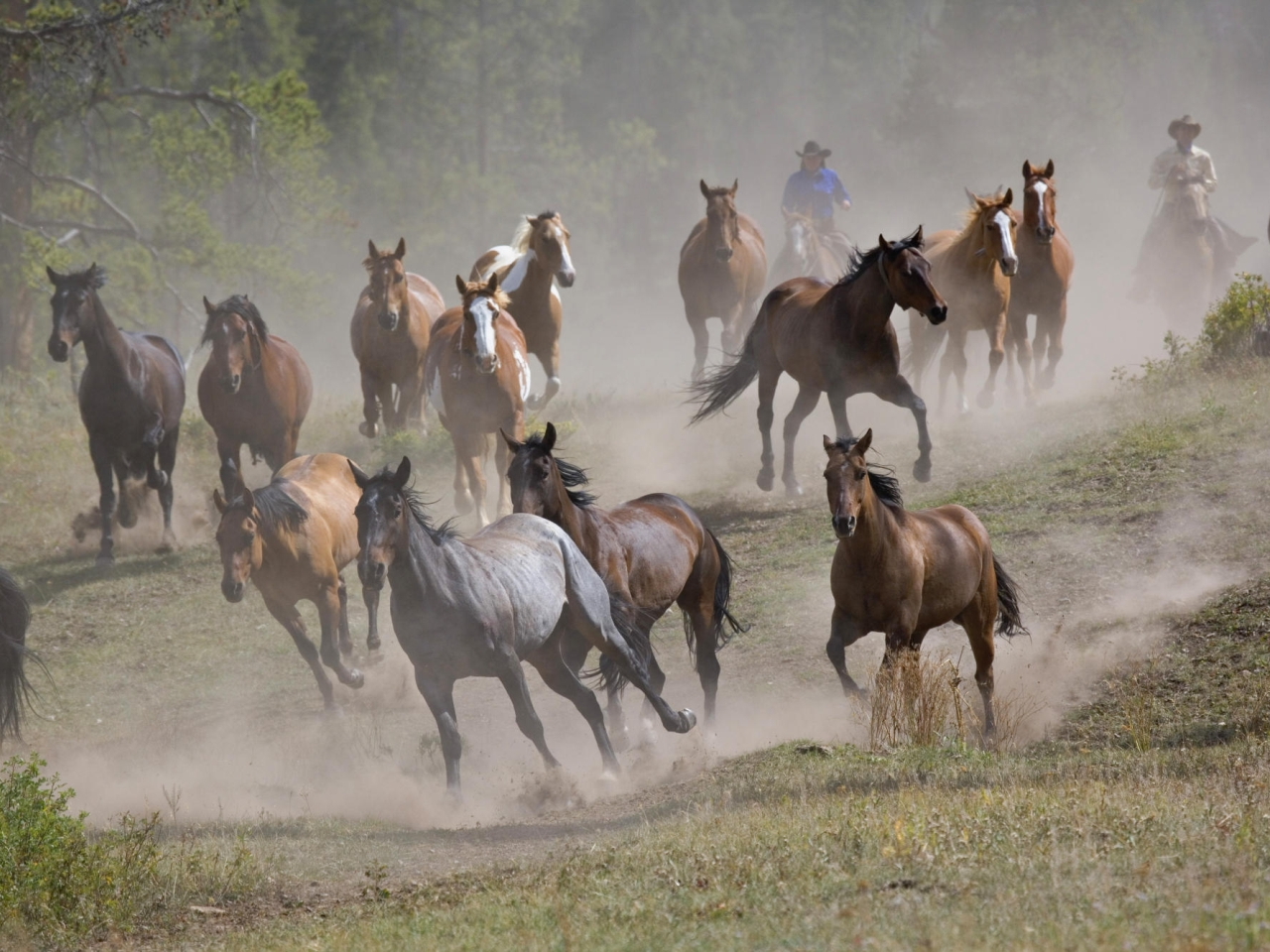 A herd of horses and cowboy