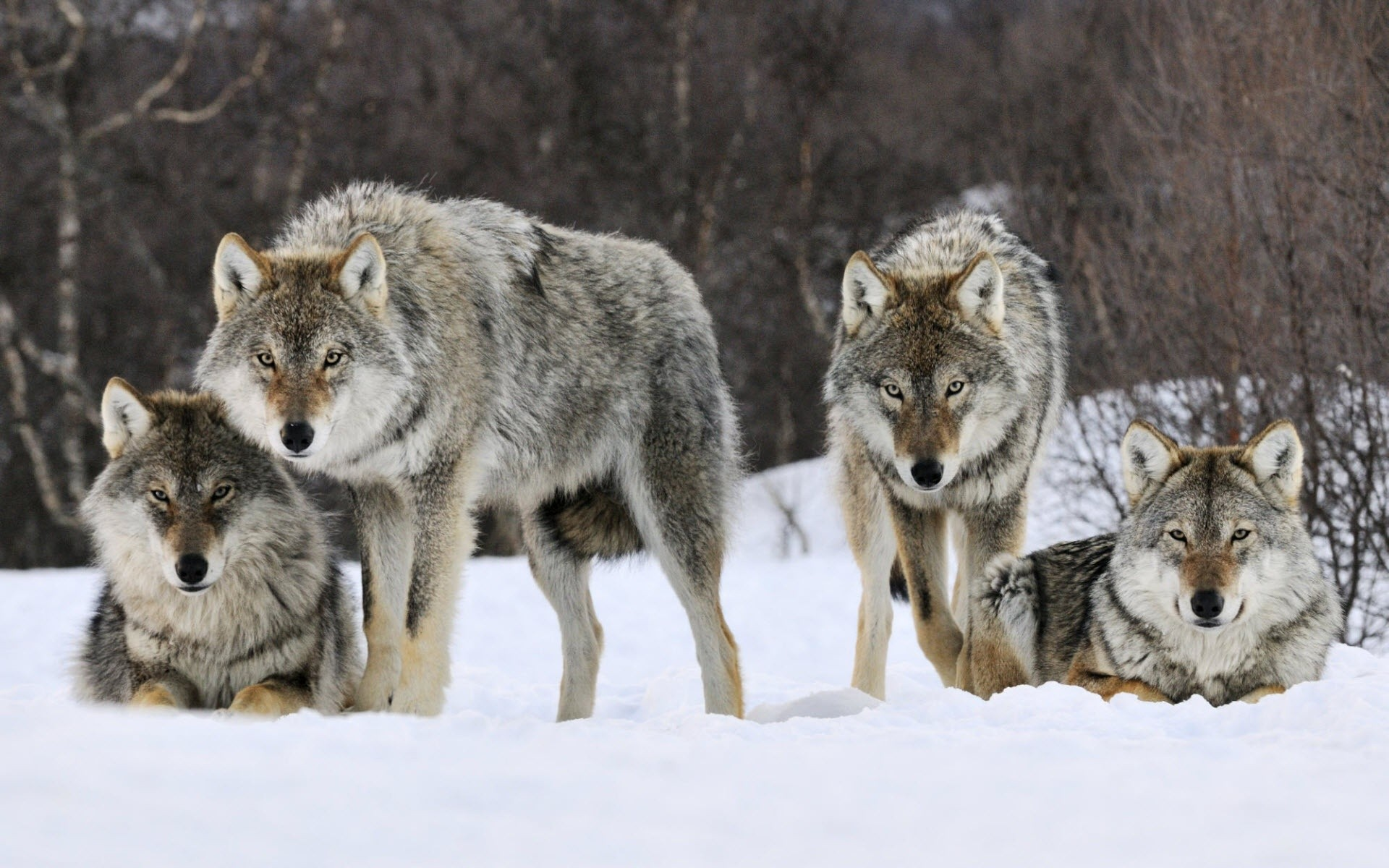 A pack of wolves in the winter woods