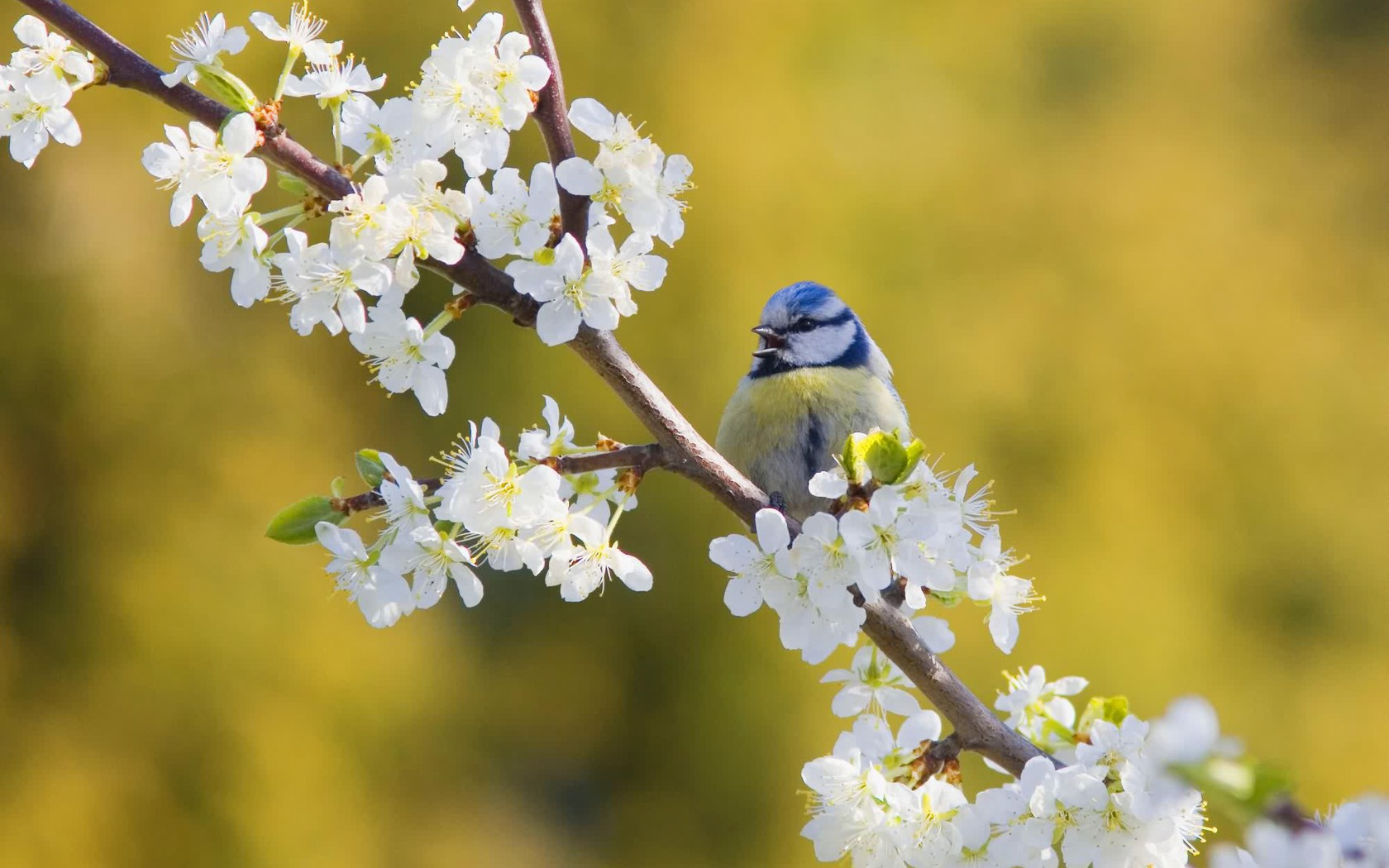 Bird on a branch of the cherry blossoms