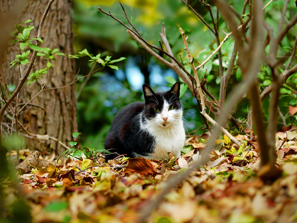 Black and white cat in the woods and bright fall foliage, perfect wallpaper, cats, animals.