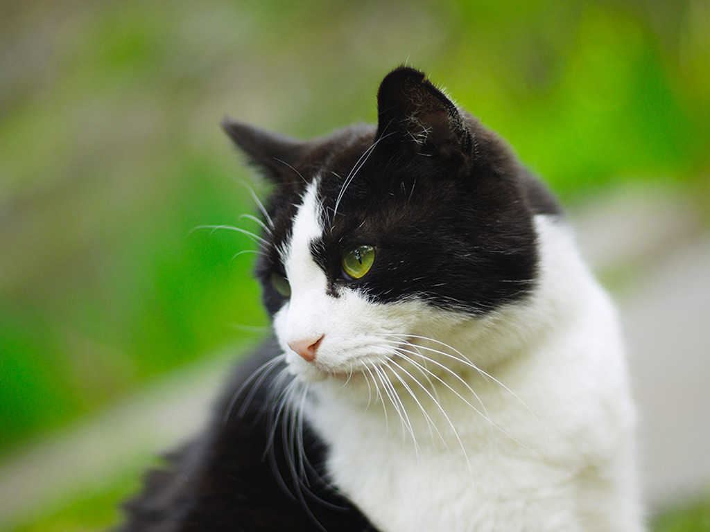 Black and white cat posing for pictures, wallpapers, animals, cats.