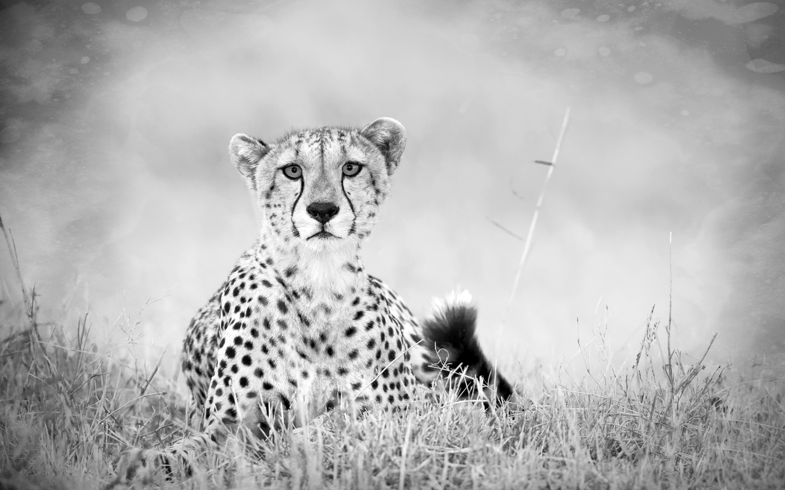 Black-and-white photo of a cheetah in the wild