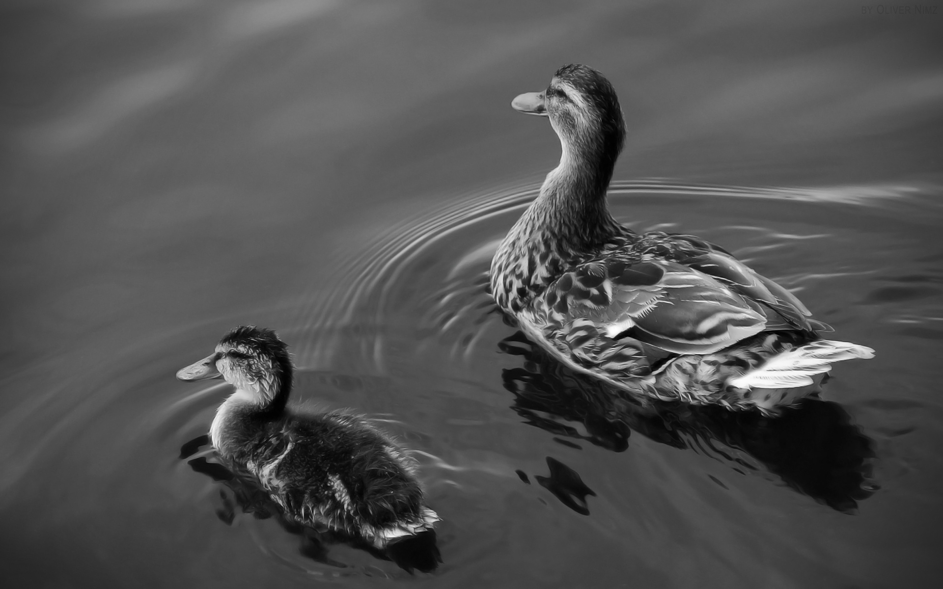 Black-and-white photo of ducks and duck high resolution