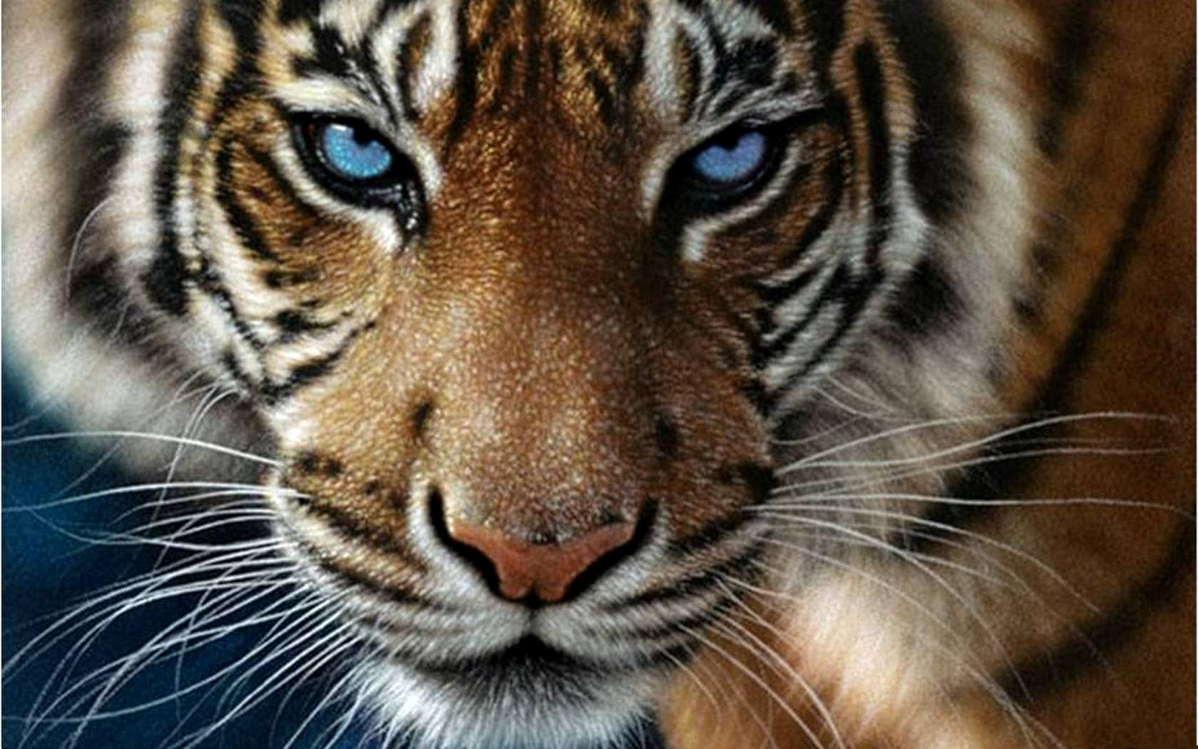 blue-eyed tiger