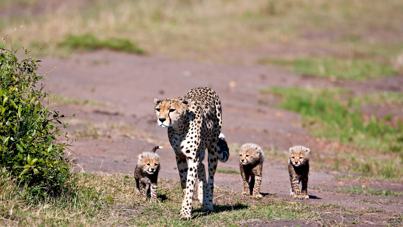 Cheetah mother and her babies