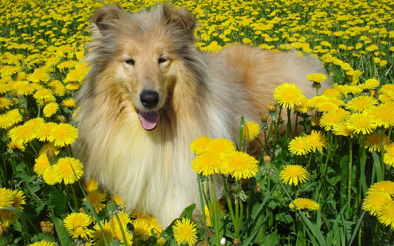 Collie and dandelions