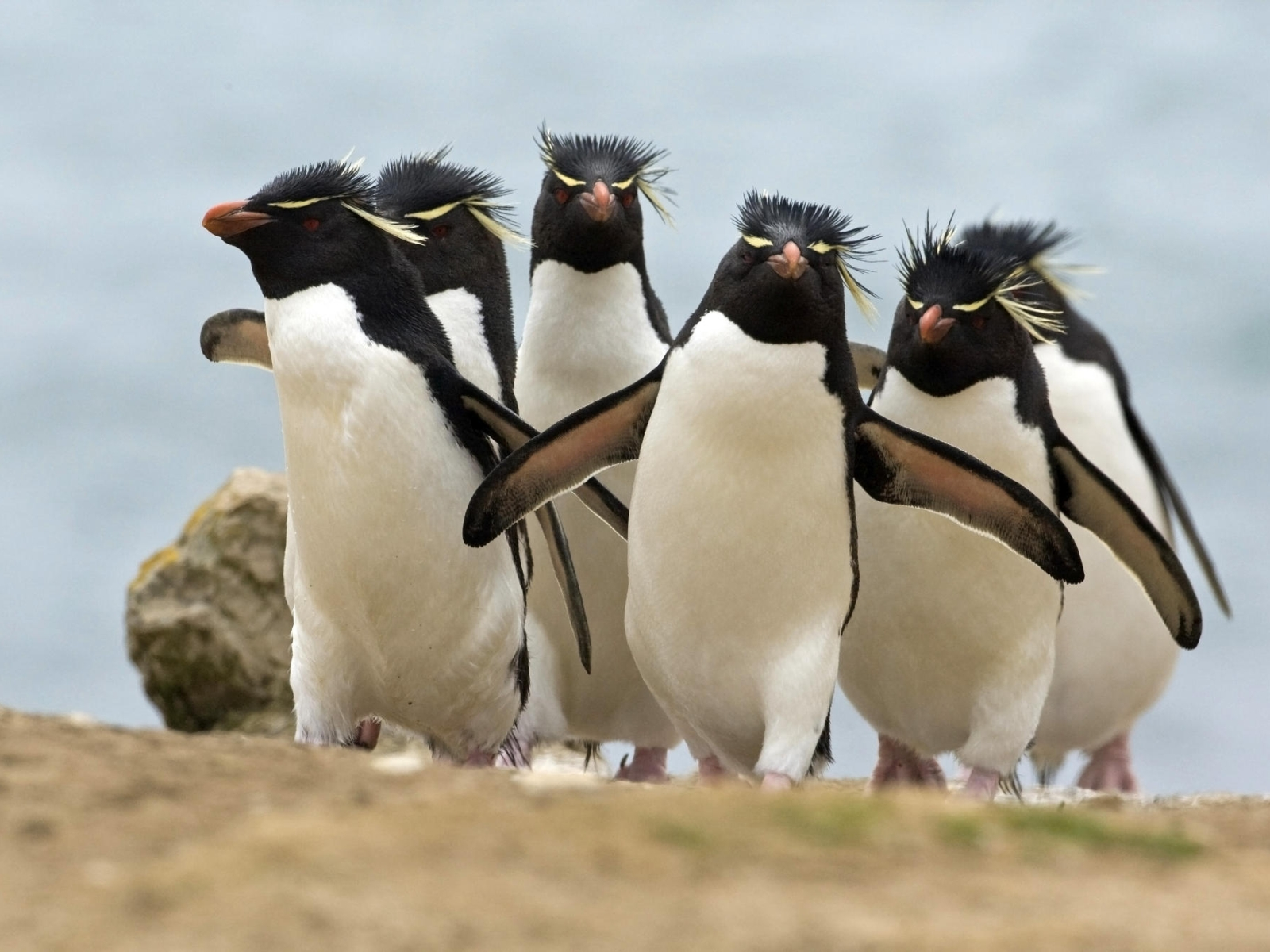 Crested penguins