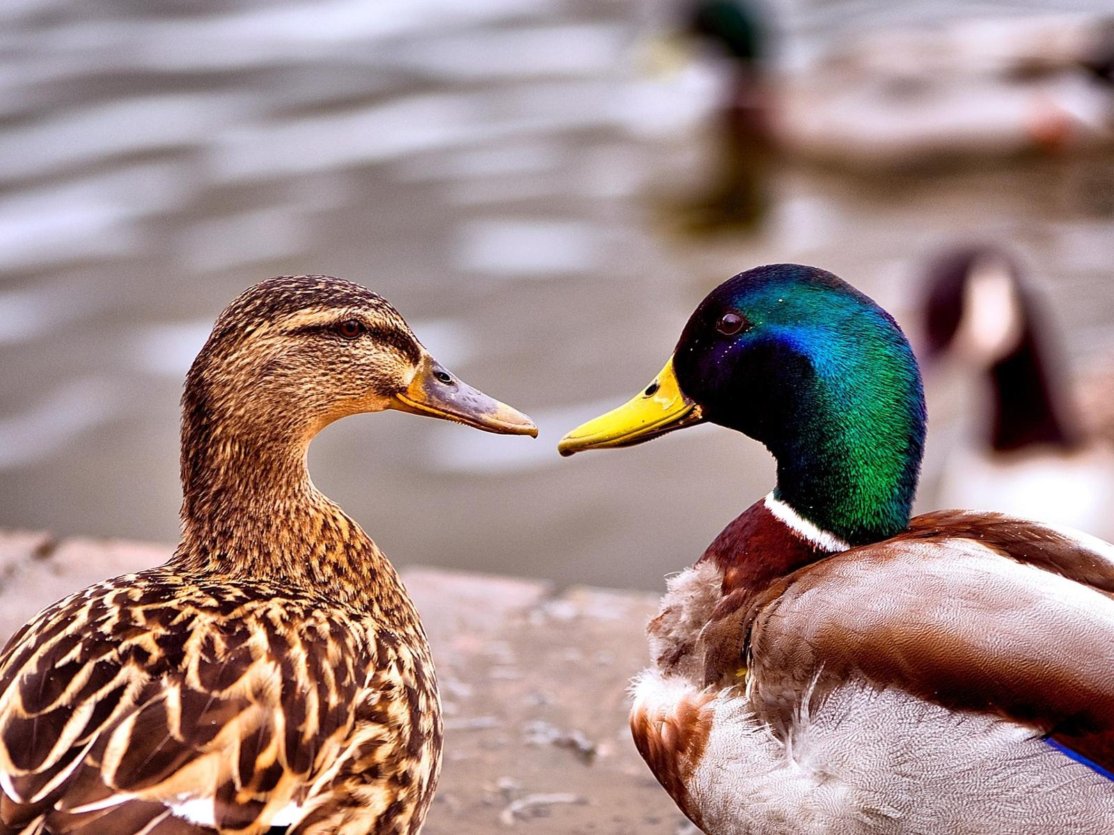 Duck Pictures and Facts  fohnnet