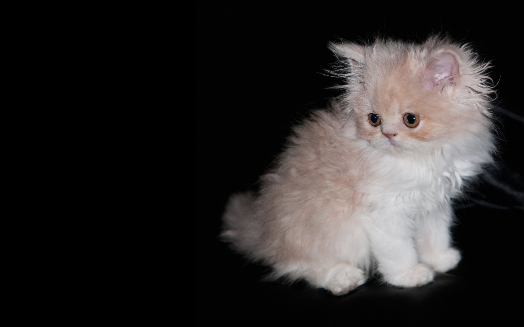 Fluffy kitten on a black background