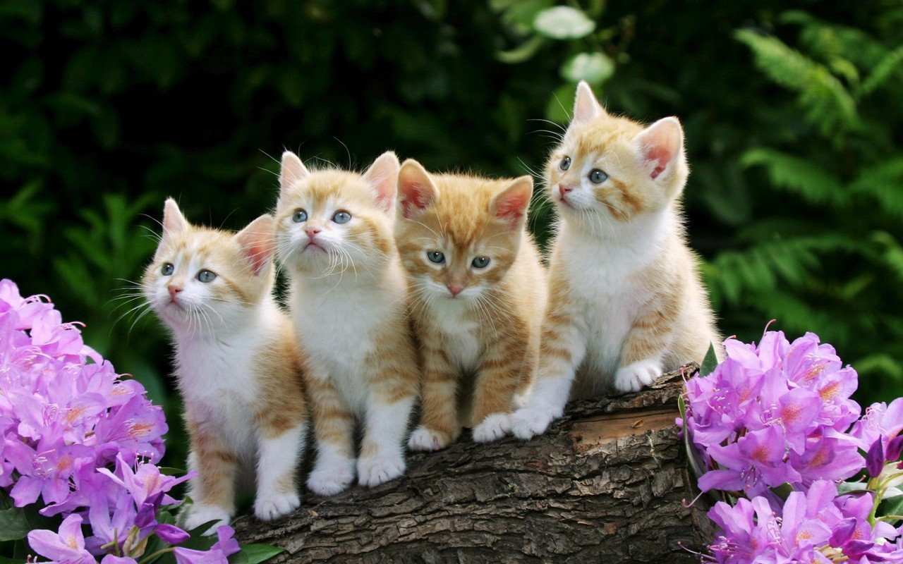 Four red-and-white kittens