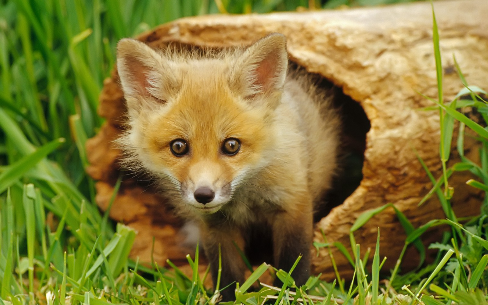 Fox gets out of the timber