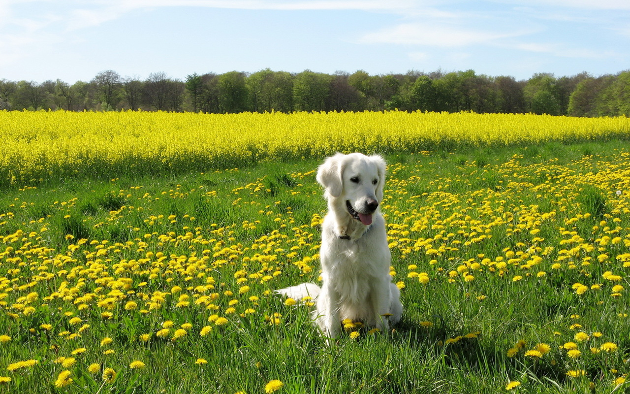 Golden Retriever in the meadow of dandelions Summer