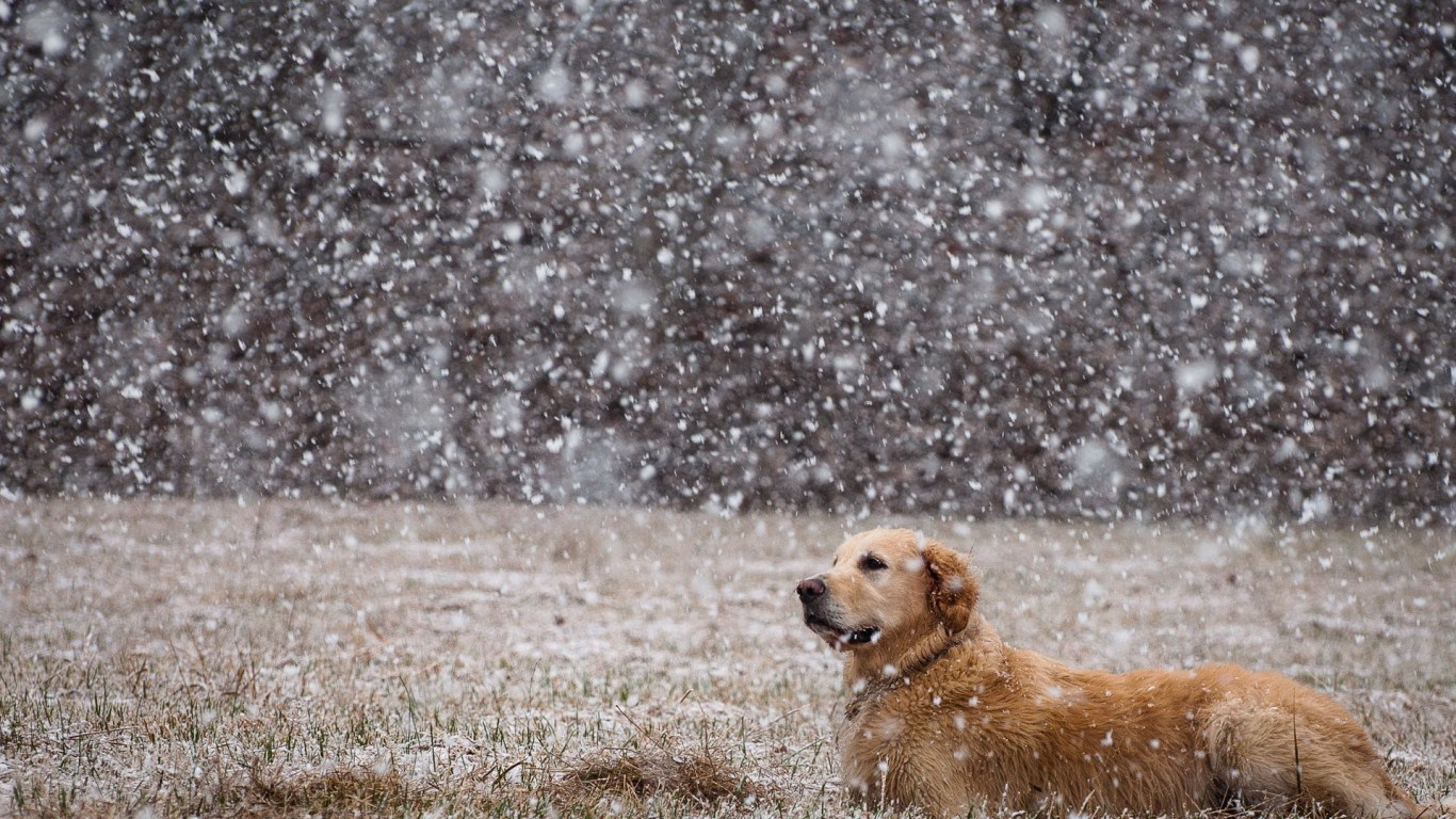Golden Retriever winter