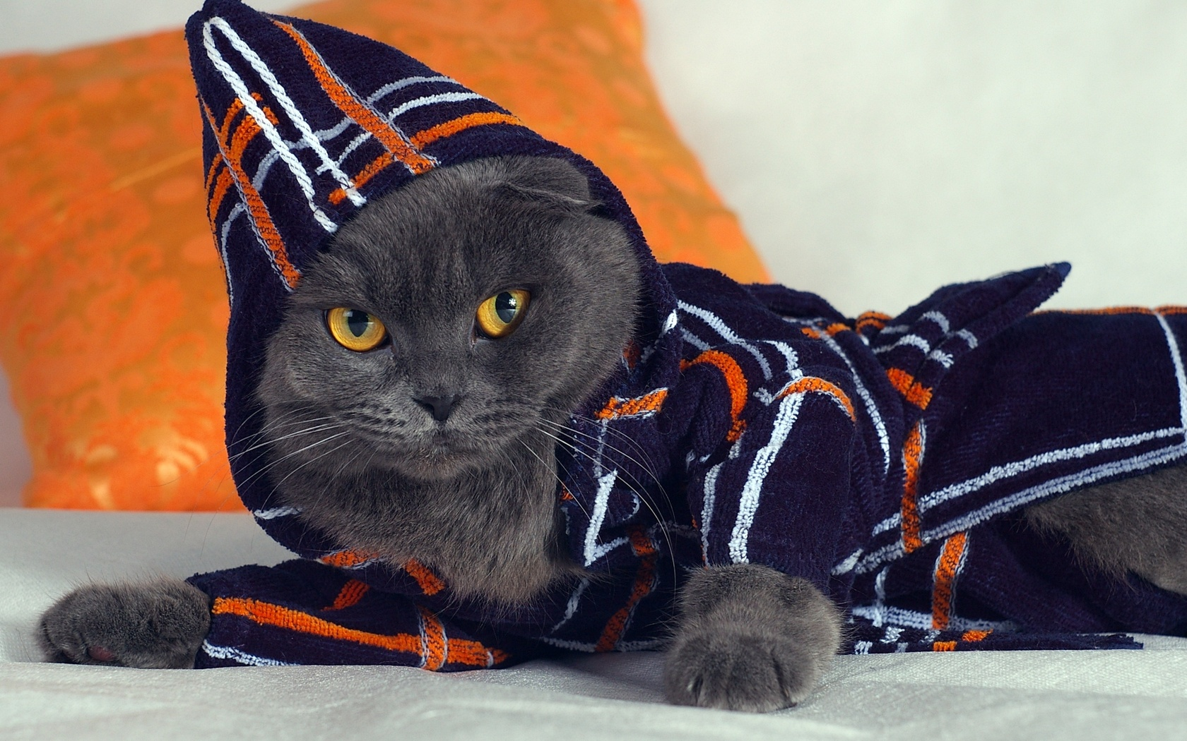 Gray cat wearing a robe