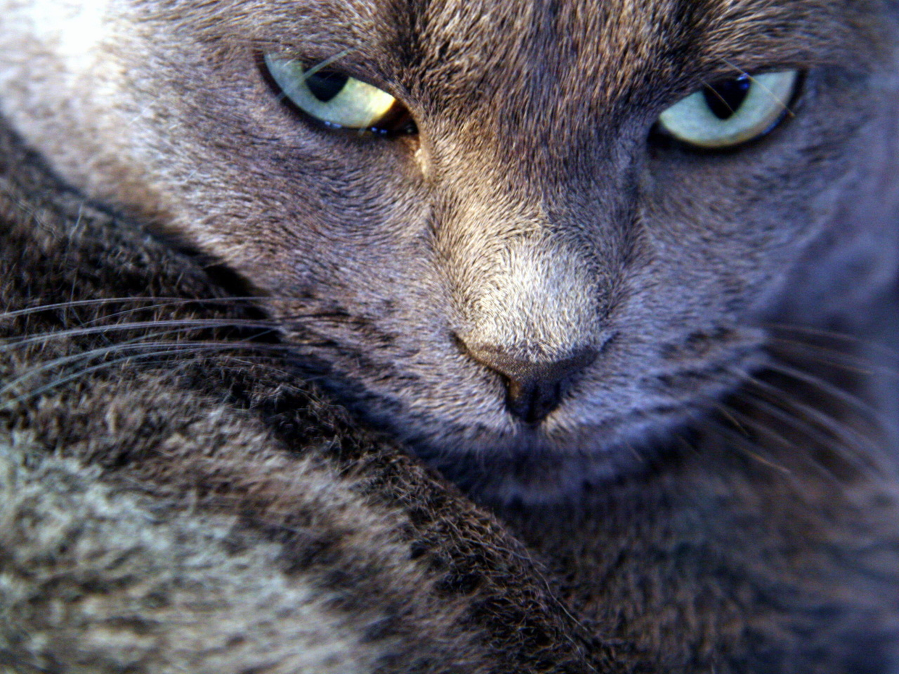 Gray cat with a haughty glance