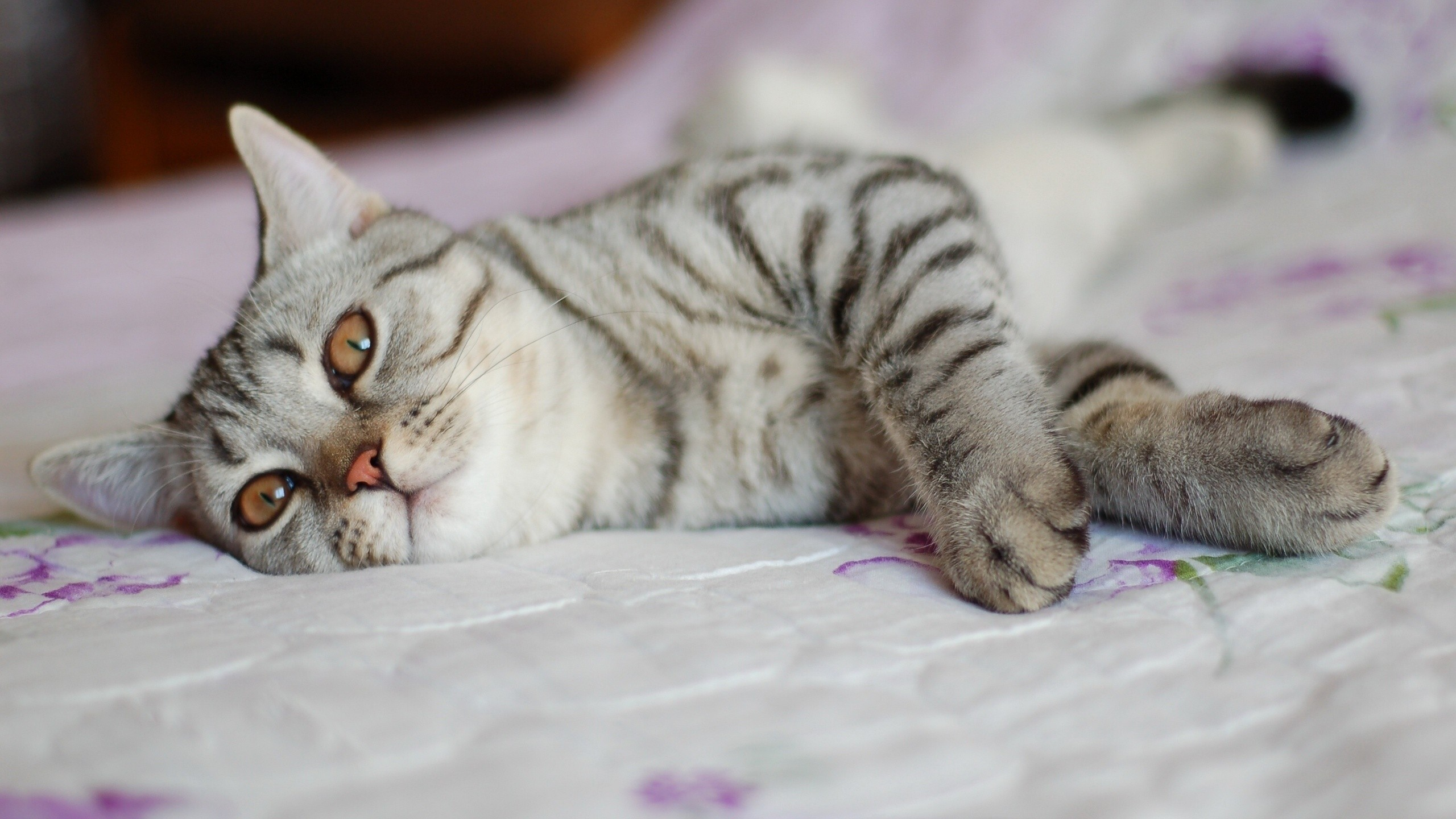 Gray cat with stripes