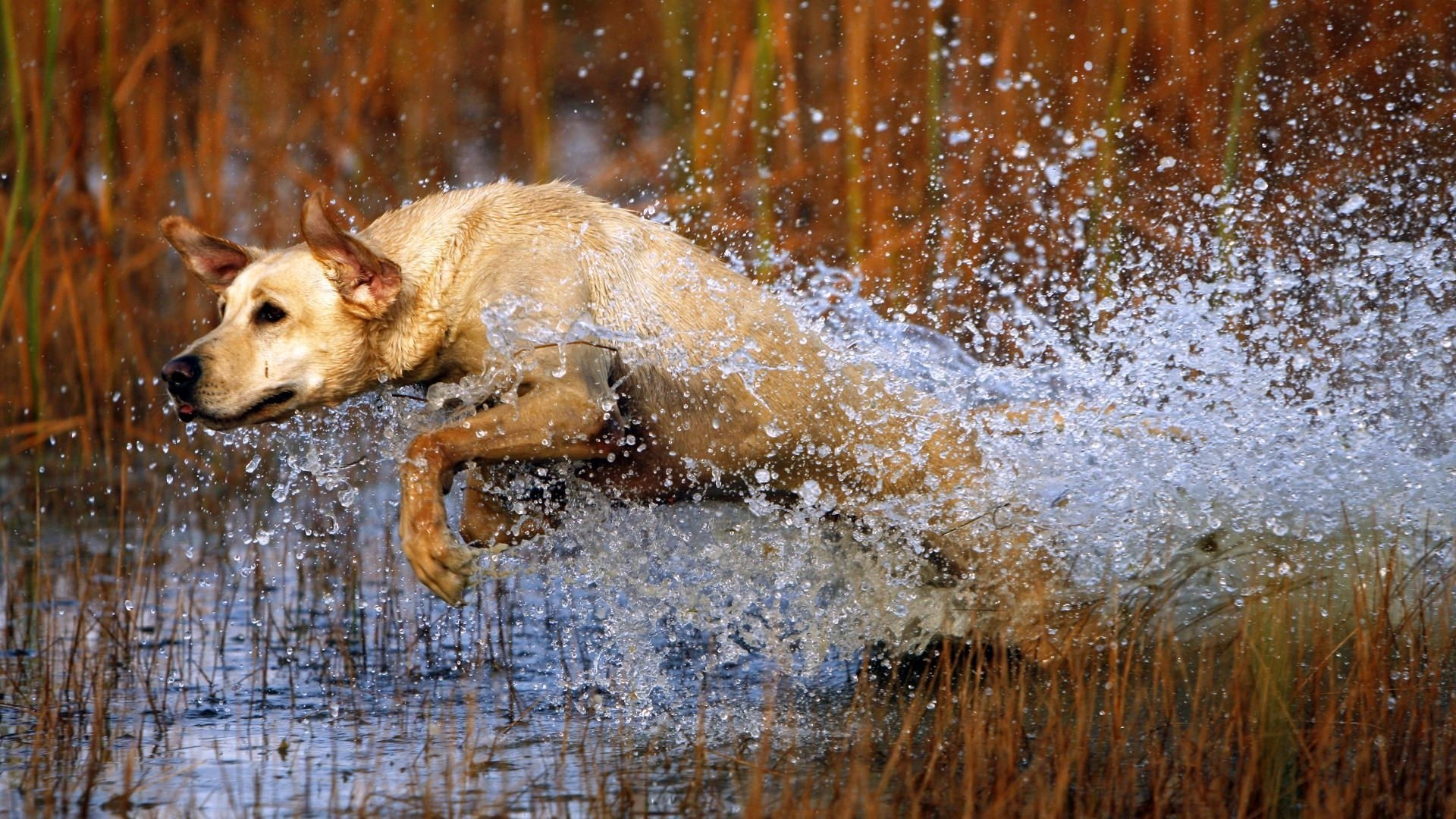 Hunting dog running after prey
