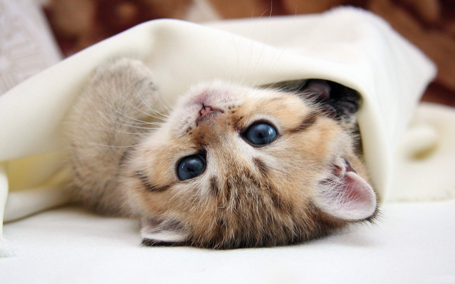 Kitten under a blanket, photo wallpaper high resolution 1920x1080