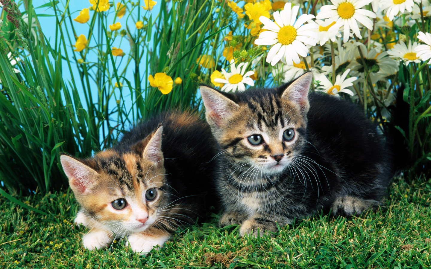 Kittens have daisies