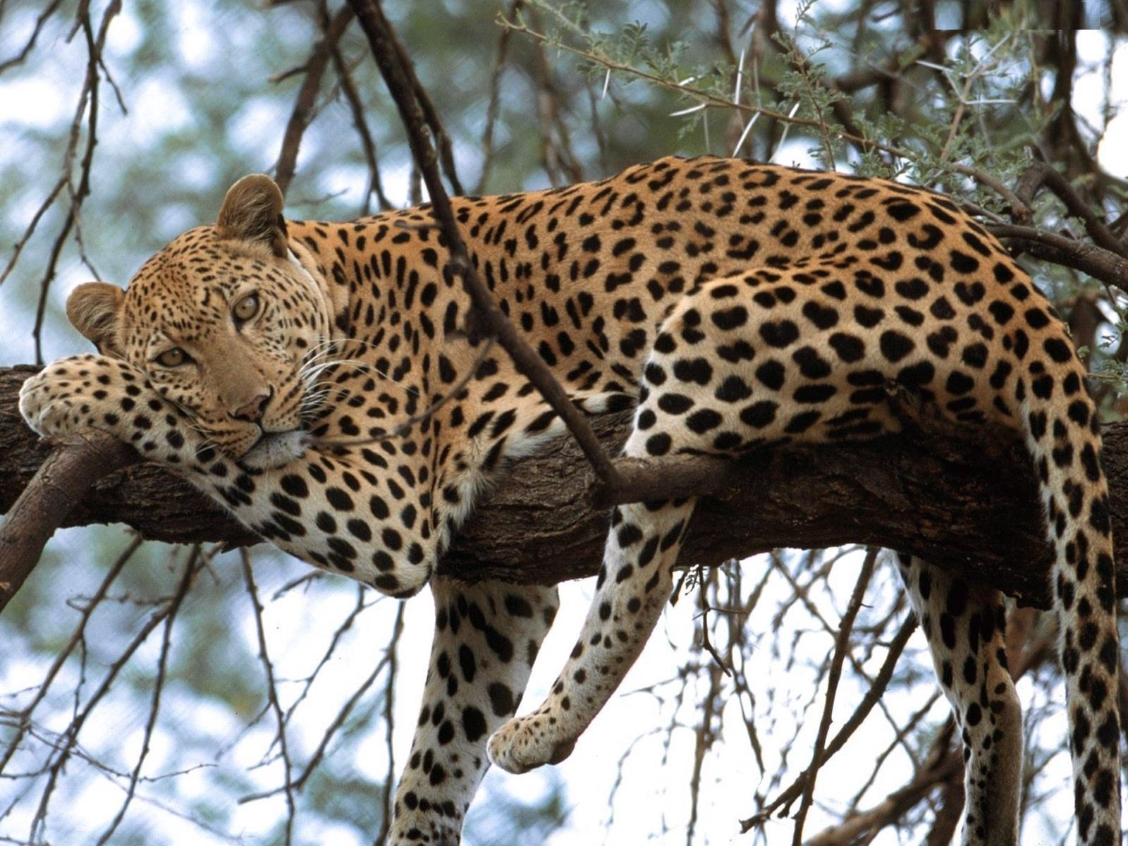 Leopard resting on a tree branch