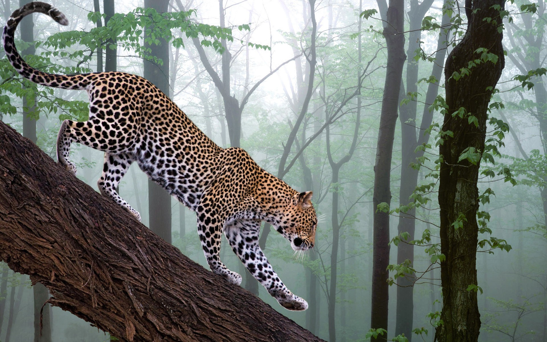 Leopard stalking the tree