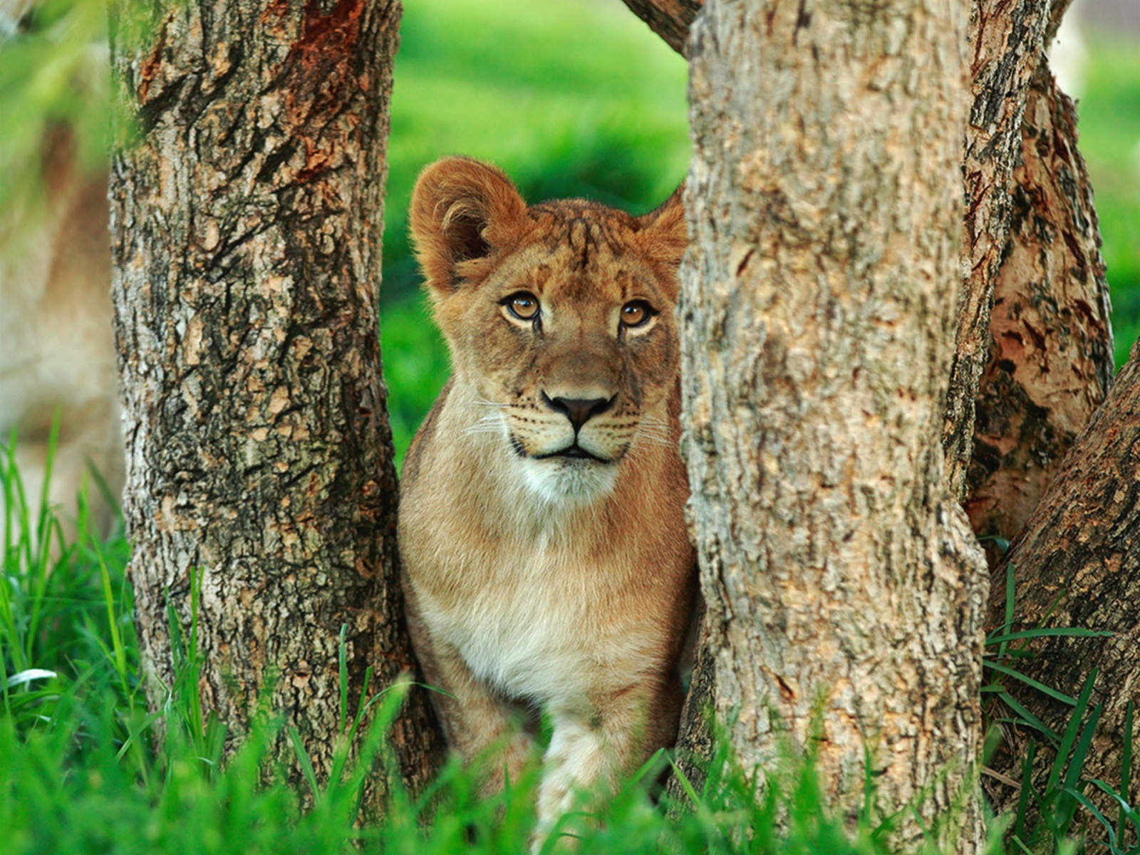 Lioness in the trees