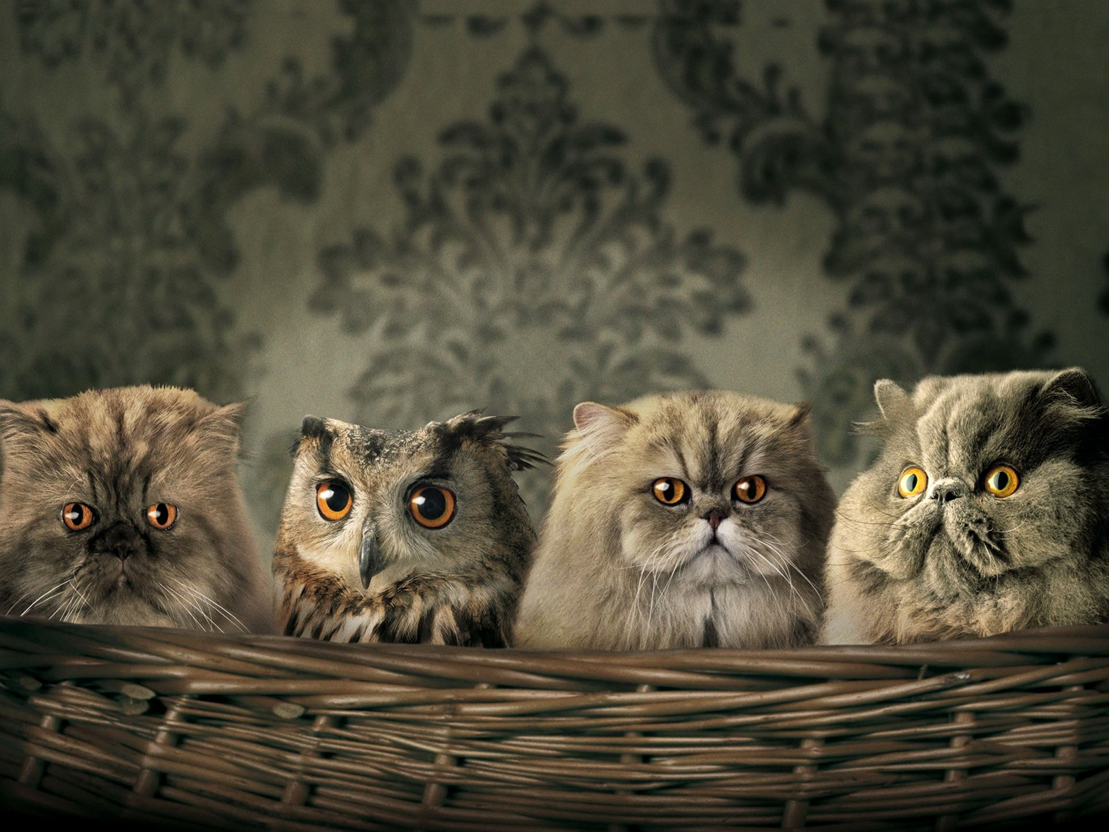 Owlet of kittens