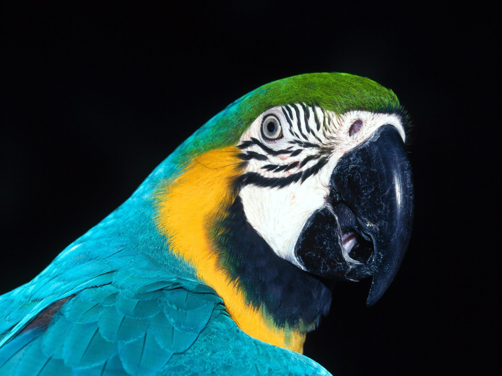 Parrot on a black background