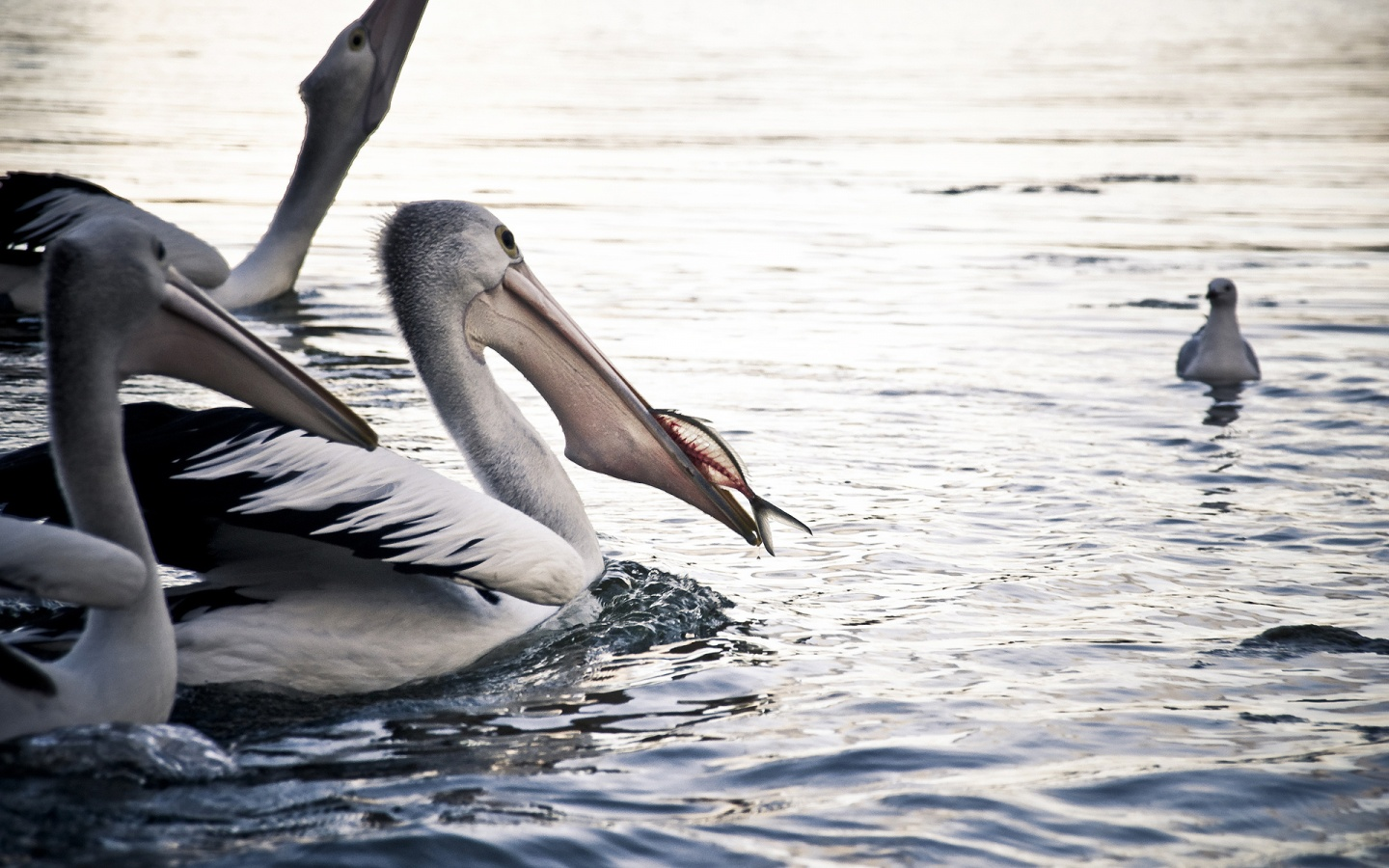 Pelican regales fish