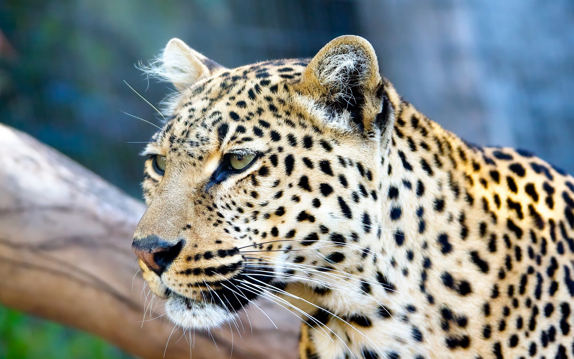Photos of leopards in the wild.