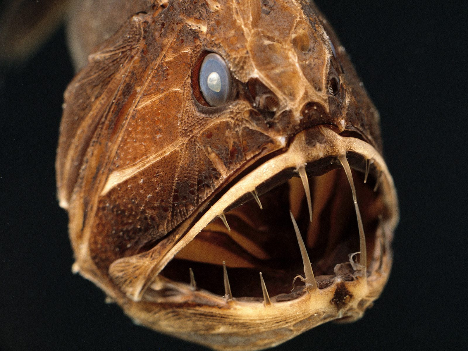 Predatory and terrible, barbed, sea fish with a huge mouth, wallpaper, the inhabitants of the underwater world, the animals