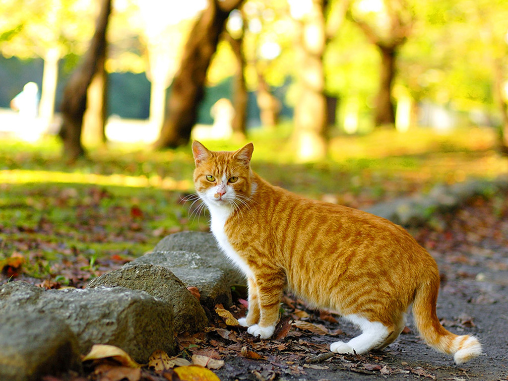 Redhead fat cat with a white breast, wallpaper.