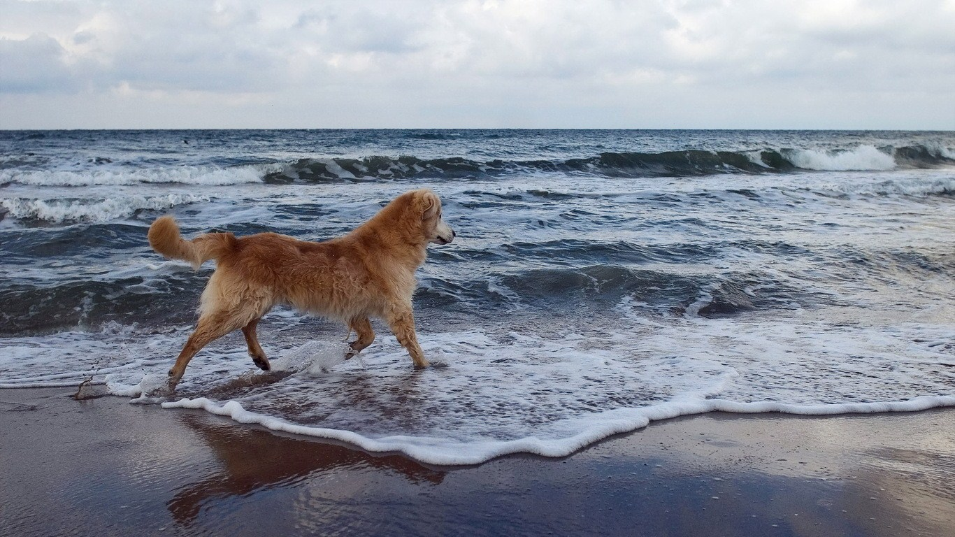 Retriever sea