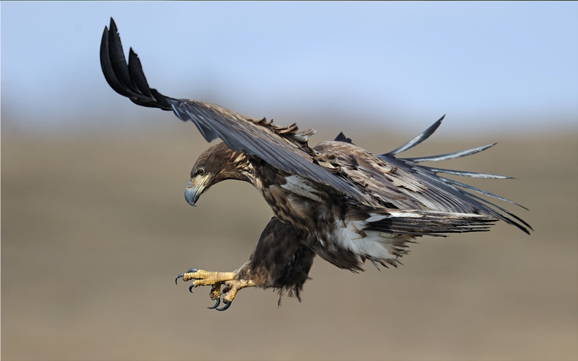 The eagle on the hunt, photo wallpaper high resolution