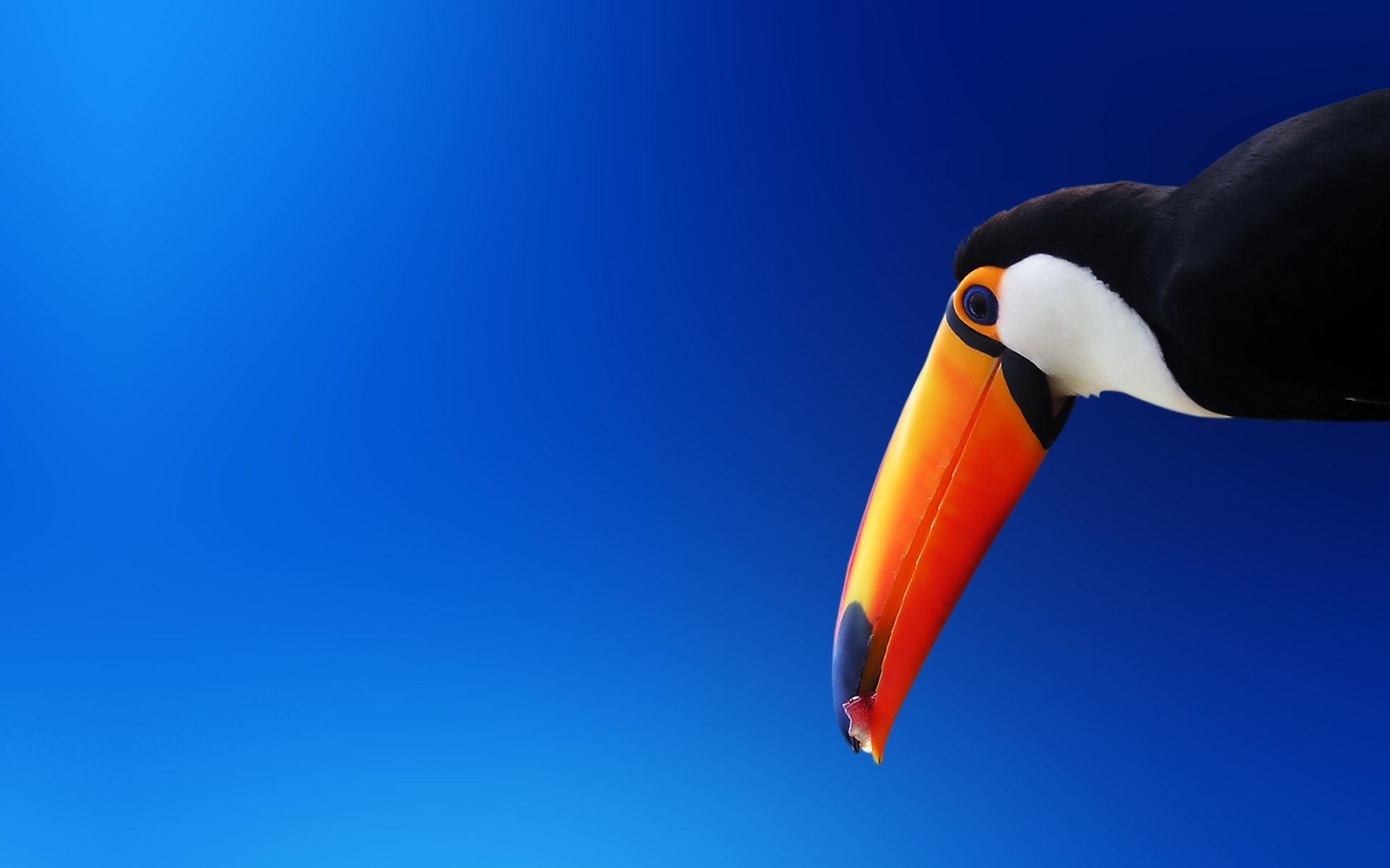 Toucan on a blue background