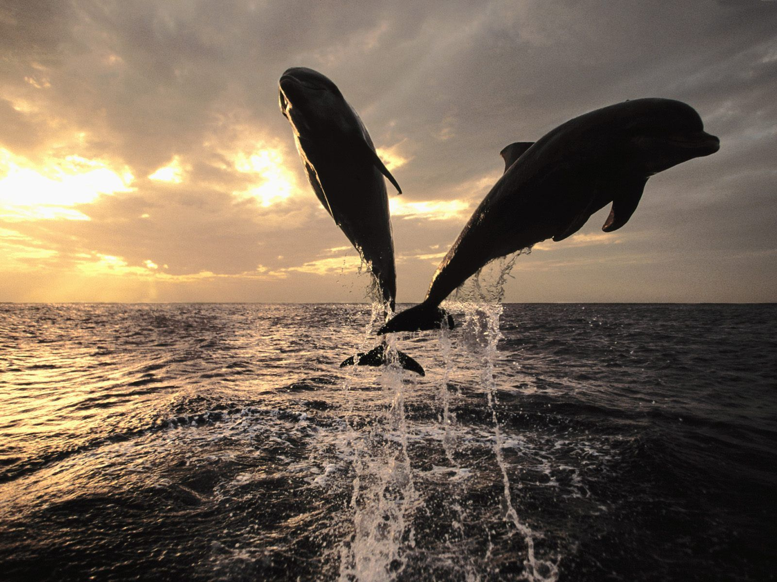 Two dolphins at sunset, background on the desktop, animals