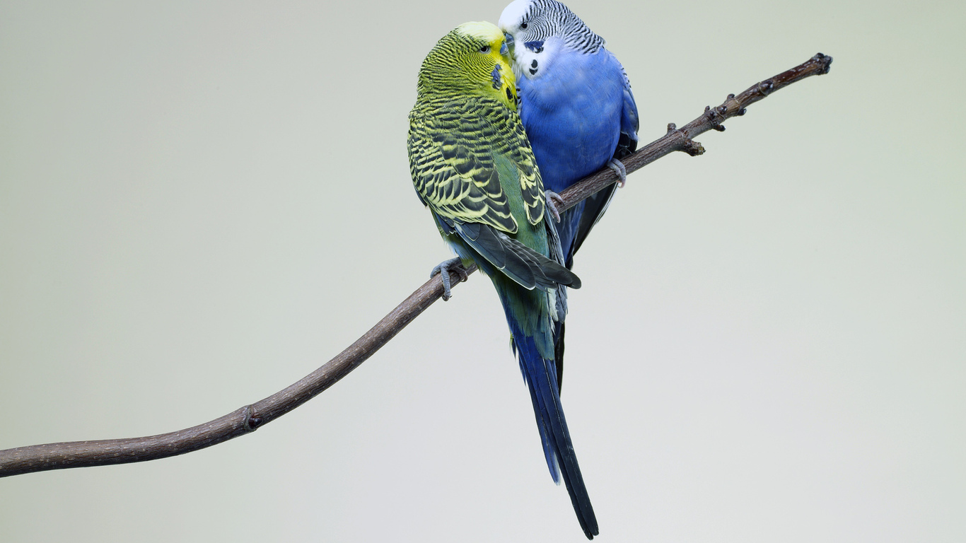 What is interesting wavy parrots, how to determine the age and gender 17