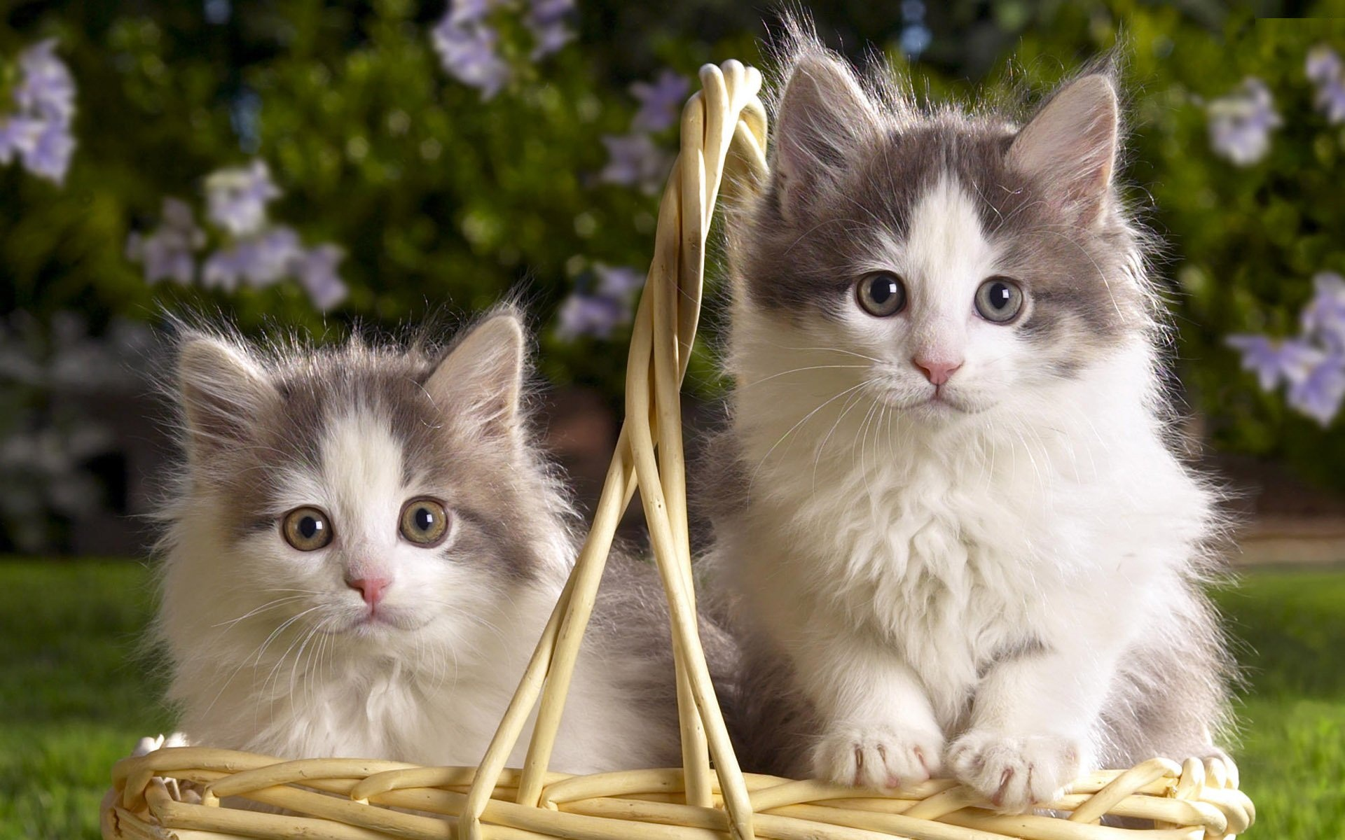 Two white and gray fluffy kitten in the basket