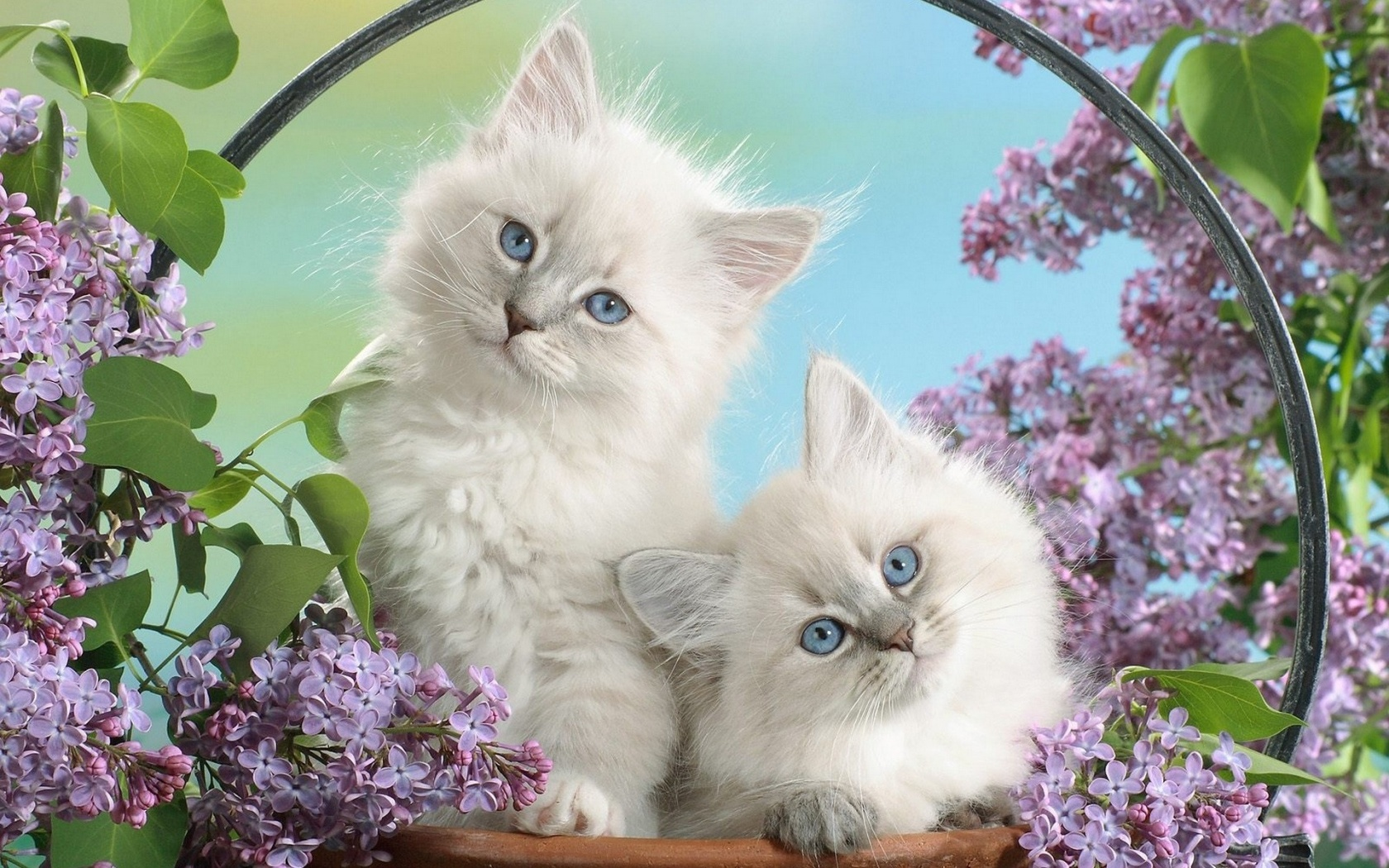 Two white fluffy cats